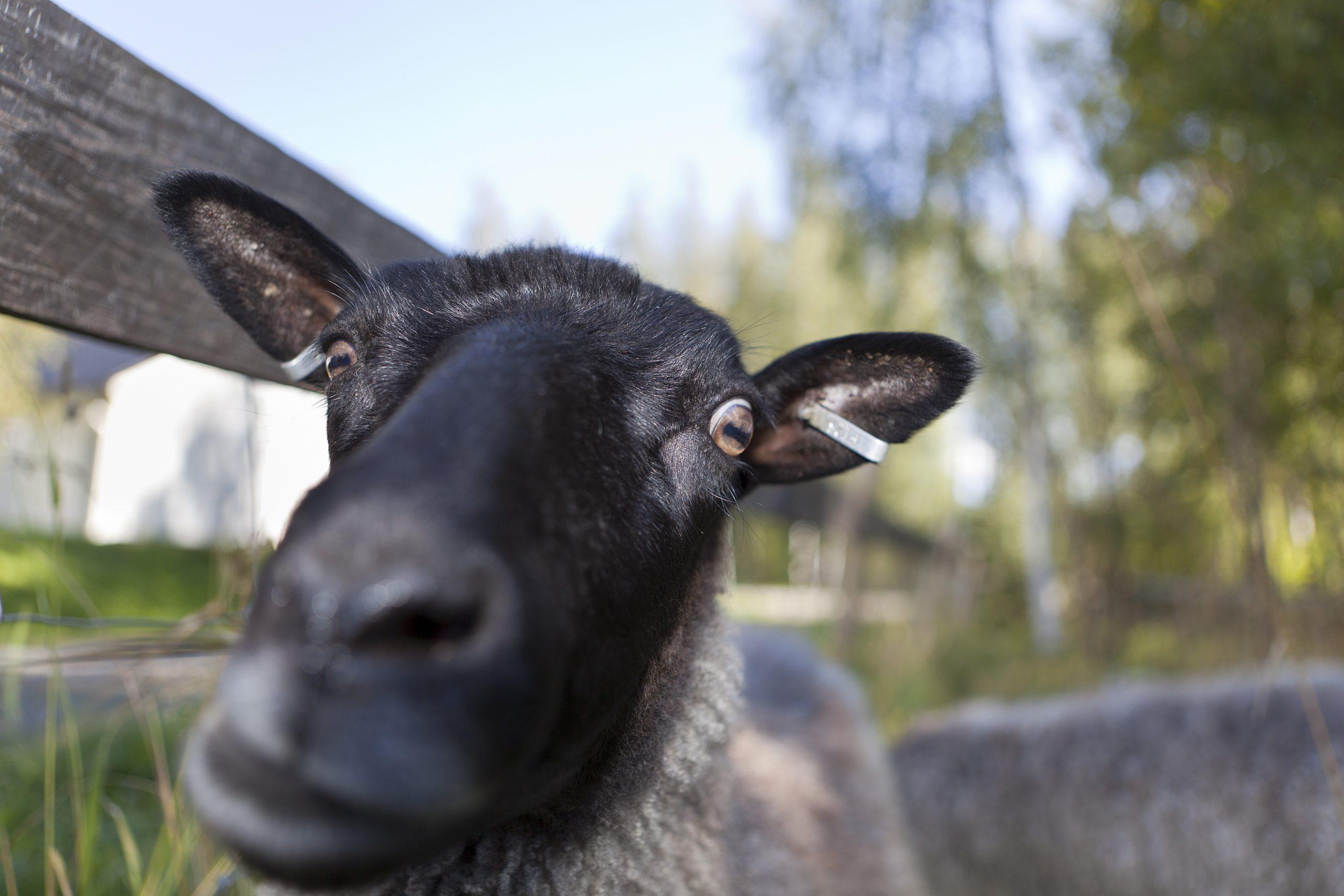 Mustapäinen lammas laiduntamassa aitauksessa Markluhdanlahdella.