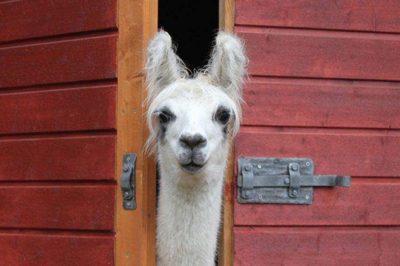 Villa Alpacan laama katsoo oven raosta kameraan